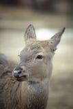 Gama dos cervos de Whitetail Imagem de Stock Royalty Free