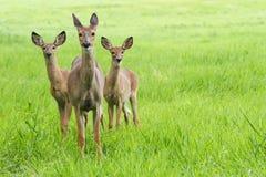 Gama e jovens corças dos cervos de Whitetail Fotografia de Stock