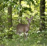 Gama en el bosque Imagen de archivo