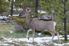 Gama en primavera, Colorado Rocky Mountains de los ciervos mula Foto de archivo libre de regalías