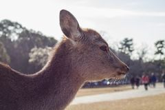 Gama fêmea de Sika, Nara, Japão Imagens de Stock