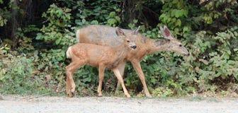 Gama fêmea dos cervos de mula com a jovem corça do bebê em Rocky Mountains em EUA ocidentais fotografia de stock royalty free