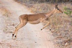 Gama femenina del impala que corre y que salta lejos de peligro Foto de archivo libre de regalías
