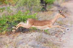 Gama femenina del impala que corre y que salta lejos de peligro Imagenes de archivo