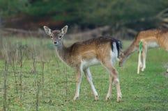 Gama joven alerta de los ciervos en barbecho Fotos de archivo