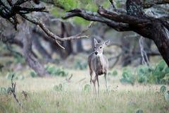Gama nas árvores Foto de Stock