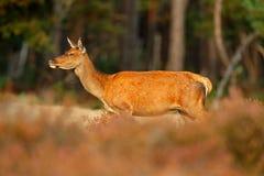 Gama trasera de los ciervos comunes, celo, Hoge Veluwe El macho de los ciervos, grita el animal adulto potente majestuoso fuera d Foto de archivo libre de regalías