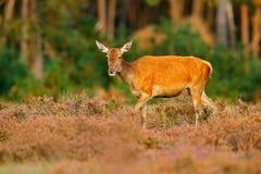 Gama trasera de los ciervos comunes, celo, Hoge Veluwe, Países Bajos Macho de los ciervos, animal adulto fuera de la madera, anim Fotos de archivo