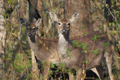 Gama y añal de los ciervos de Whitetail Fotografía de archivo