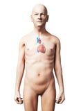 Gamal man - hjärta Fotografering för Bildbyråer