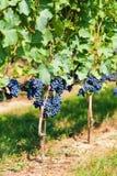 Gamay grape Stock Image