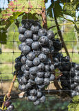 Gamay Red Wine Grapes #2 Royalty Free Stock Photos