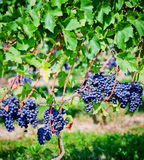Gamay vineyards in France Stock Photos