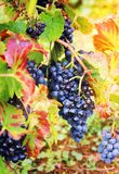 Gamay Wine Grape Royalty Free Stock Images