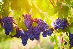 Gamay winogrono Fotografia Stock