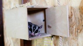 Gambá de voo do açúcar no jardim zoológico do contato Esquilo de voo australiano filme