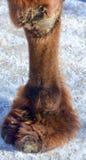Gamba del cammello Immagini Stock Libere da Diritti