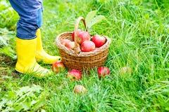Gambe del bambino negli stivali di pioggia gialli ed in mele rosse Fotografia Stock