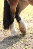 Gambe del cavallo Fotografia Stock Libera da Diritti