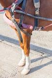 Gambe del cavallo del primo piano con il percorso di ritaglio del cablaggio e del ferro di cavallo Fotografia Stock