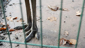 Gambe dello struzzo Fotografie Stock