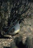 gambel male quail s Стоковые Фотографии RF