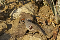 Gambel's(california) Quail Stock Photo