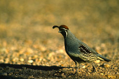 Gambel's(california) Quail Male Royalty Free Stock Image