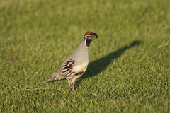 Gambel's(california) Quail Male. A colorful, male gambel's quail walking through grass Stock Photos