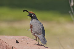 Gambel's(california) Quail Male Stock Image