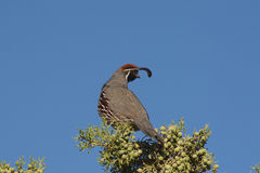 Gambel's(california) Quail Male Stock Images