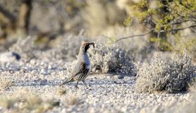 Gambel`s Quail bird, Tucson Arizona Sonora Desert. The Gambel`s quail, Callipepla gambelii, is a small ground-dwelling bird in the desert regions of Arizona royalty free stock images