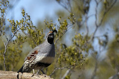 Gambel's Quail, Callipepla gambelii Stock Photos
