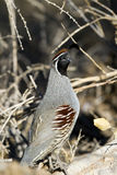 Gambel's Quail, Callipepla gambelli Royalty Free Stock Photography