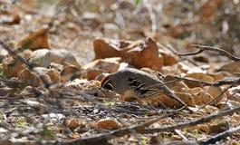 Gambel`s Quail Foraging in the Sonoran Desert. Male Gambel`s quail foraging for seeds in the Sonoran Desert, Arizona, United States stock photo