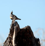 Gambel's quail standing in clearing Royalty Free Stock Images