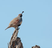 Gambel's quail standing in clearing Stock Photo