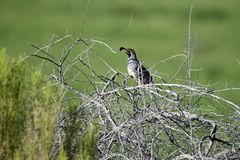 Gambel-` s Wachtelvogel, Sweetwater-Sumpfgebiete in Tucson Arizona USA Stockbilder