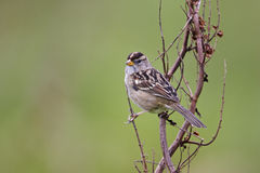 Gambel's White-crowned Sparrow Royalty Free Stock Images