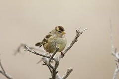 Gambel's White-crowned Sparrow Royalty Free Stock Photo