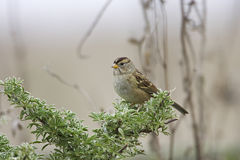 Gambel's White-crowned Sparrow Stock Images