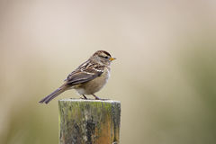 Gambel's White-crowned Sparrow Royalty Free Stock Image