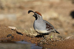 Gambels quail, Callipepla gambelii Stock Photo