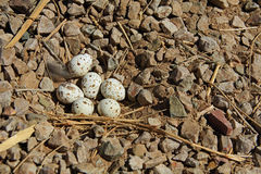 Gambel's Quail Nest with Six Eggs Royalty Free Stock Photography