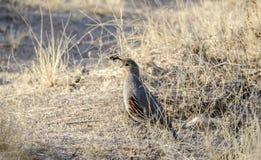 Gambels Quail, Tucson Arizona desert. The Gambel`s quail, Callipepla gambelii, is a small ground-dwelling bird. It inhabits the desert regions of Arizona stock photos