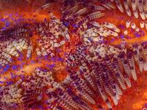 Gamberetto di Coleman, colemani di Periclimenes, sul discolo del fuoco, astropyga radiata immagini stock libere da diritti