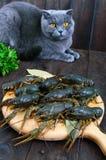 Gamberi in tensione su un vassoio di legno nella priorità alta Il gatto grigio guarda molto attentamente Fotografia Stock