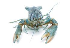 Gambero blu - aragosta dell'acqua dolce fotografie stock libere da diritti