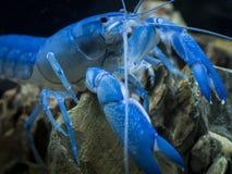 Gambero blu australiano della perla Fotografie Stock Libere da Diritti