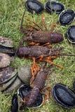 Gambero coperto di spine (aragosta) e paua (aliotide) Immagini Stock